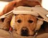 Голосовые зоны в мозге собак и людей идентичны