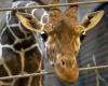Датский зоопарк, который забил жирафа, убивает семью львов